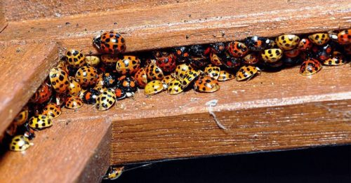 Experts Issue A Warning: Avoid These Dangerous Ladybug Lookalikes