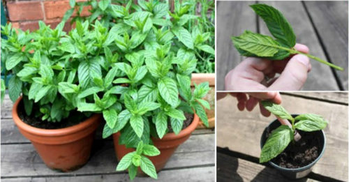 15 Reasons To Grow Mint At Home And How You Should Do It