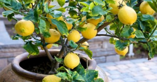 Grow Your Own Organic Lemon Tree At Home