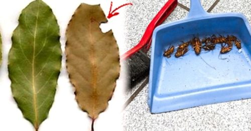 Put A Few Bay Leaves In Your House And You Will Never See A Single Cockroach Again