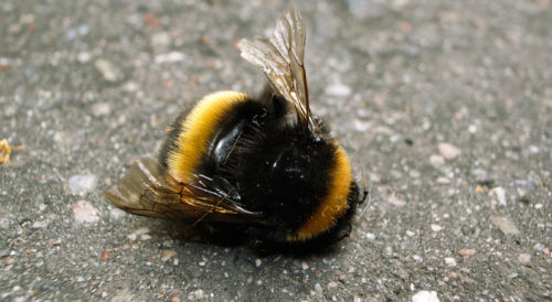 Now It's Official – First Bee Has Been Added To The Endangered Species List