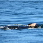 Whale Mom Refuses To Let Go The Body Of Her Baby