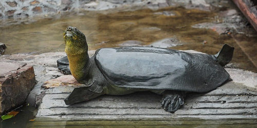 The Last Soft-Shell Yangtze Turtle Has Just Passed Away
