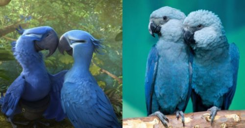 The Blue Macaw Parrots Are Now Declared Endangered Species