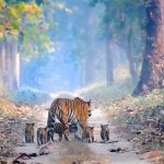 A Photo Of A Tiger And Her Cubs Indicates That Big Cats Are No Longer Extinct