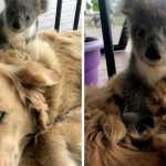 Adorable Surprise: Dog Comes Home With A Baby Koala Whose Life She Just Saved