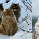 The Norwegian National Cats Are Considered To Be The Pets Of The Vikings