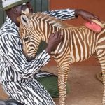 The Orphaned Baby Zebra Was Rescued By These Conservation Workers