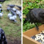 8-Year-Old Girl Gets Gifts From Crows… She Has Been Feeding Them For 4 Years