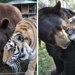 Lion, Bear And Tiger 'Brothers' Haven't Left Each Other's Side For 15 Years